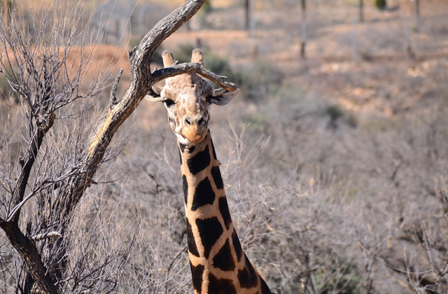 An close up photo of a giraffe in the Out of Africa Wildlife Park in Arizona